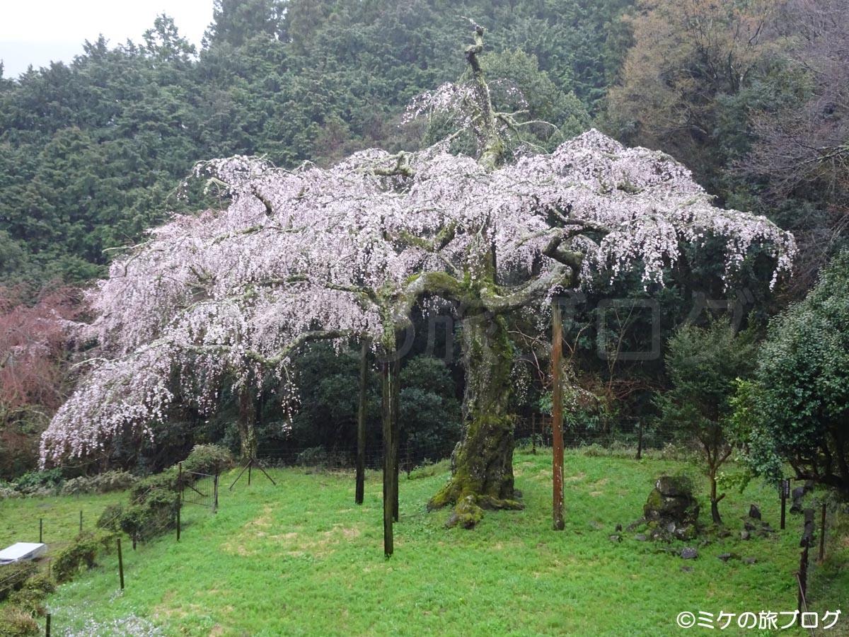 箱根長興山の桜